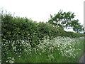 TL6559 : Roadside hedgerow near Court Barns Farm by JThomas