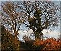 ST3707 : Trees on Limekiln Lane by Roger Cornfoot