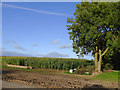 SJ6641 : Maize field south of Audlem in Cheshire by Roger  Kidd