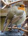 SK5801 : Robin in a Duncan Road back garden : Week 51