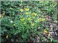 TQ7819 : Goldilocks buttercups in Killingan Wood by Patrick Roper