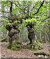TQ8623 : Hornbeams in Flatropers Wood by Patrick Roper