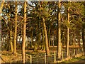 NZ0846 : Pine trees at Whickham Grange at sunset by Alan Murray-Rust