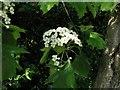 TQ7818 : Wild service tree flowers, Churchland Lane by Patrick Roper
