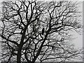 NT1977 : Winter tree with Crow : Week 2