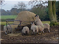 SP4998 : Sheep at Normanton Turville : Week 2