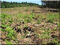 TG4600 : Bracken on a clearing in Fritton Wood by Evelyn Simak