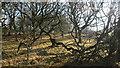 NS7065 : Twisty winter trees : Week 5