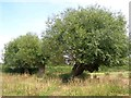 SP7703 : Pollarded willows by Simon Mortimer