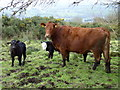 H4485 : Hardy cattle, Liscabble by Kenneth  Allen