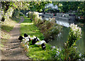 SP4192 : Grazing on the towpath near Hinckley in Leicestershire by Roger  Kidd