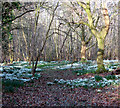 TG2004 : Carpets of snowdrops by Evelyn Simak