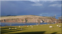 NH7966 : Field of sheep at Cromarty by Julian Paren