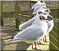 NT2973 : Black-headed Gulls (Larus ridibundus) by Anne Burgess