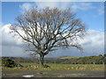NT1264 : Oak tree at Buteland : Week 12