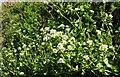 SX1656 : Scurvy-grass near Castlemawgan by Derek Harper