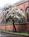 SP3379 : Blossom by Holy Trinity Church by E Gammie