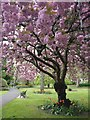 SK5804 : Blossom in Castle Gardens, Leicester : Week 15