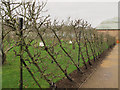 SJ7481 : Trained apple trees at Tatton Hall by Stephen Craven
