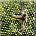 SJ4169 : Silvery Gibbon (Hylobates moloch) at Chester Zoo by Mike Pennington