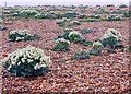 TQ9417 : Flowering sea kale on the shingle, Rye Harbour Nature Reserve by Patrick Roper