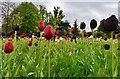 TQ4752 : Emmetts Garden: Tulip Garden 1 : Week 19