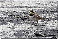HP6312 : Shore Lark (Eremophila alpestris), Haroldswick : Week 19
