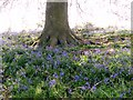TG3203 : Bluebells surrounding the base of an oak tree by Evelyn Simak