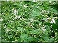 TG3204 : Blackberry (Rubus fruticosus) by Evelyn Simak