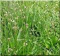 TG3203 : Narrowleaf Plantain (Plantago lanceolata) by Evelyn Simak