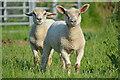 ST3782 : Newport District : Grassy Field & Sheep : Week 22