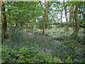 SE1936 : Bluebells and ramsons in the woods by Stephen Craven