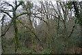 SX4961 : Widewell Wood by N Chadwick