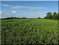 TL4945 : Field by Hinxton High Street by Hugh Venables