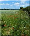 TF7920 : Farmland and poppies next to the Peddars Way : Week 25