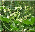 TG1903 : White bryony (Bryonia dioica) - flowers by Evelyn Simak