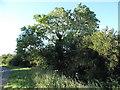 TL0159 : Small tree by Bedford Road, Sharnbrook by David Howard