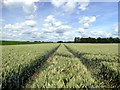 SE7923 : Tractor lines in a wheatfield : Week 26