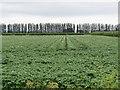 SJ3766 : Potato field alongside Ferry Lane, Higher Ferry by John S Turner