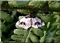 TQ7818 : The scorched carpet moth in Churchland Lane by Patrick Roper