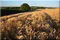 SS7602 : Mid Devon : Crop Field : Week 27
