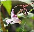 TG3203 : Himalayan Balsam (Impatiens glandulifera) by Evelyn Simak