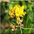TG3103 : Greater Bird's-foot trefoil (Lotus pedunculatus) by Evelyn Simak