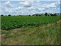 TM0571 : Sugar beet field, between Mill Farm and Highland Farm by Christine Johnstone