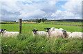 NZ0220 : Field with sheep near Parrick House : Week 31