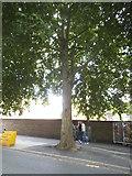TQ3478 : Tree on Southwark Park Road, Bermondsey by David Howard