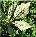 TG3203 : Leaf rust on bramble (Rubus fruticosus) by Evelyn Simak