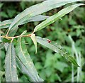 TG3203 : Gall on willow (Salix alba) by Evelyn Simak