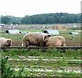 TG1213 : Free-range pigs near Ringland village by Evelyn Simak
