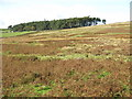 NY9149 : Moorland and plantation east of Riddlehamhope by Mike Quinn